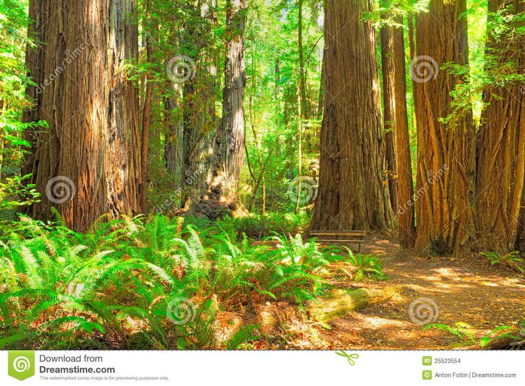 redwood trees - Google SearchRedwood Tree Painting