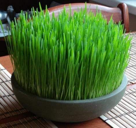 Wheat grass decor 03 plant ideas pinterest
