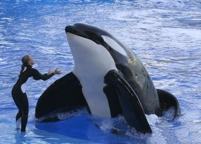 tilikum and dawn orcinus orca pinterest