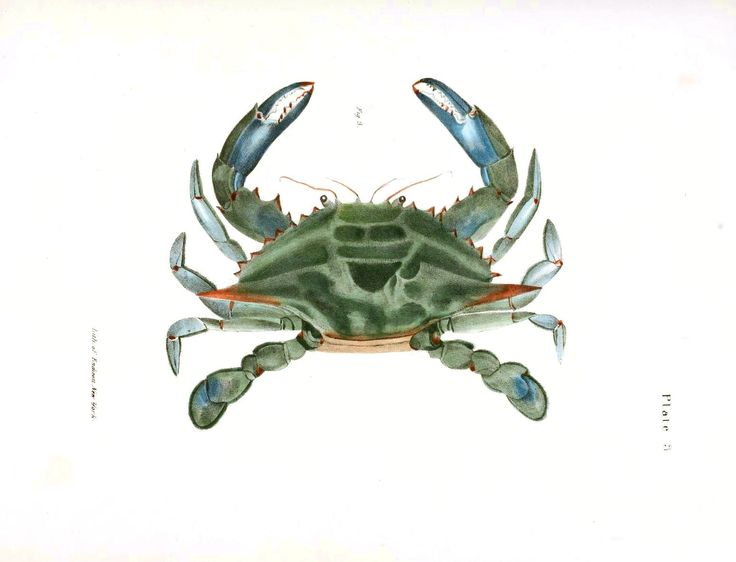 Animal - Crustaceans and related - Blue crab