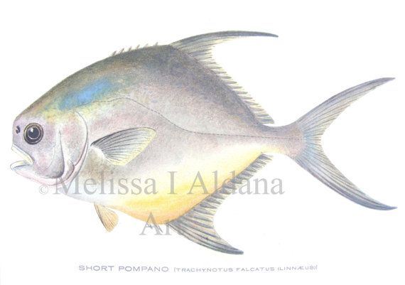 Vintage fine art print pompano fish for Florida pompano fish