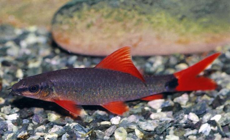 Pin by atomik voodoo on freshwater aquarium pinterest for Semi aggressive fish