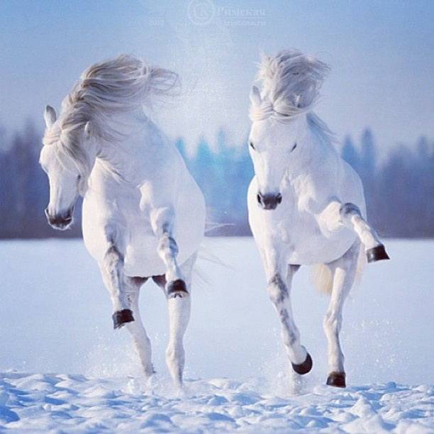 Snow white horses playing in the snow animals and other creatures