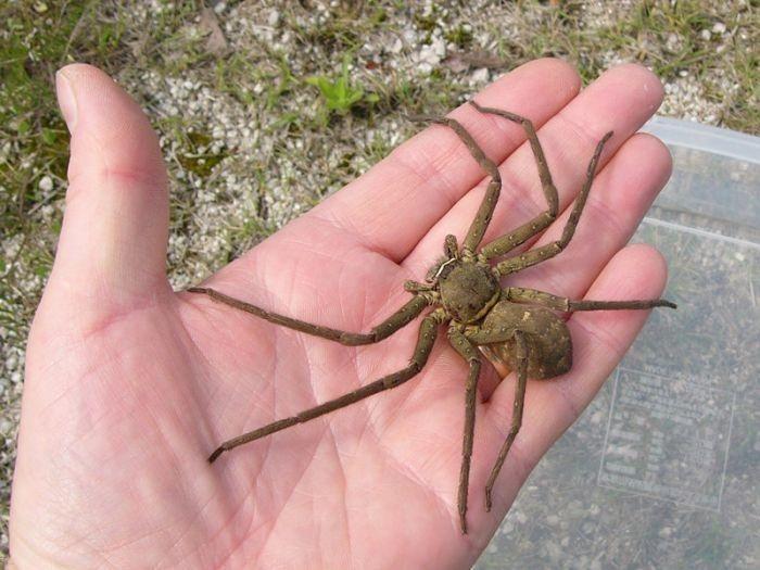 Giant australian jumping spider