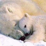 Fotos de urso polar