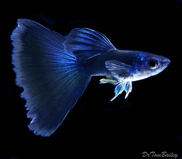 Male blue guppy rare freshwater fish pinterest for Betta fish water temp