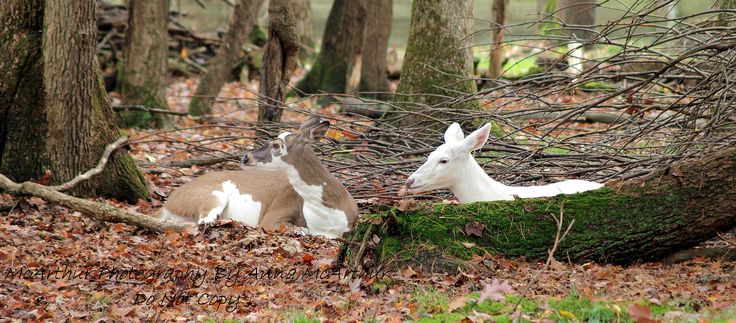 double diamond deer ranch goliath