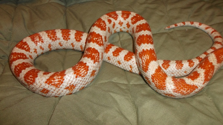 Red Red ~candy cane corn snake | My Snakes & Reptiles | Pinterest