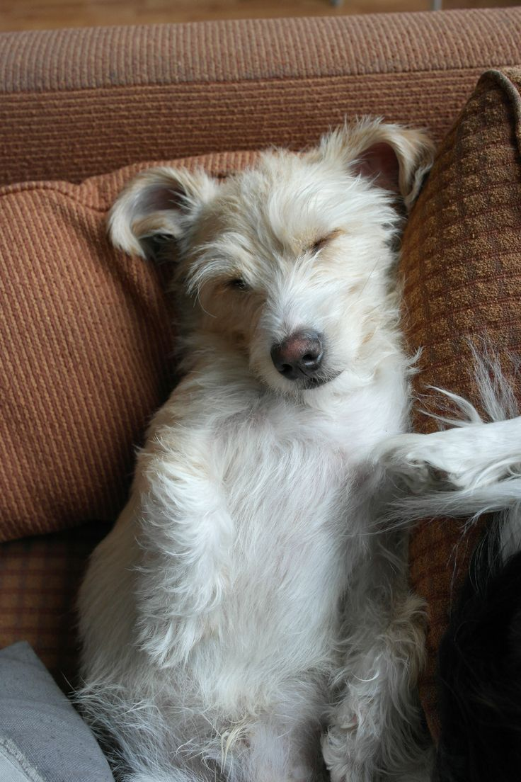 Dachshund Maltese Mix Maltese x dachshund mix #mauxie. uploaded to ...