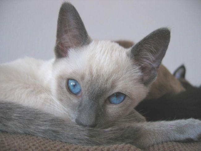 Blue point Siamese kitten   Siamese   Pinterest