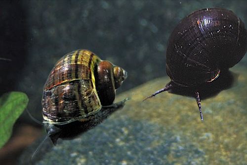 Black Mystery Snails. Submergeds Woodlands // Bosques Sumergidos ...