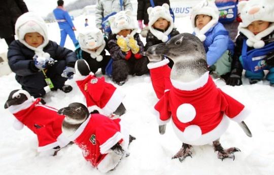 Korean Penguins in Santa Costumes