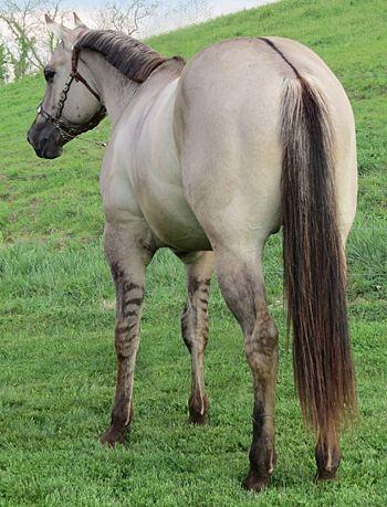 Silver Grulla Horse