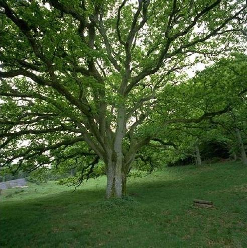 hackberry tree | Trees | Pinterest