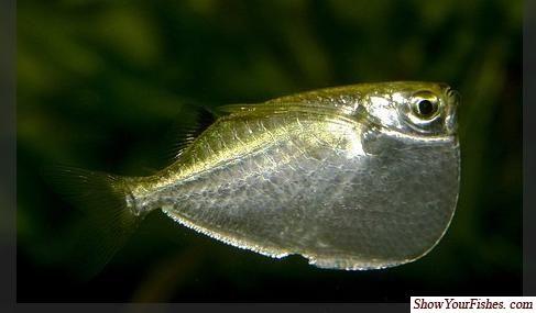 Silver Hatchetfish fishes Pinterest