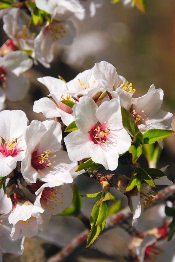 Fleurs d'amandiers de Valensole, en Provence.