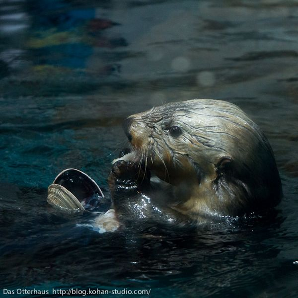 Otter enjoys a tasty clam - May 17, 2012