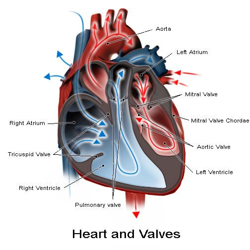 Mitral Valve Overview