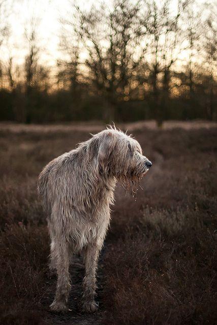 L'Irish Wolfhound 0c5c5c8037252b71babd28c11071771b