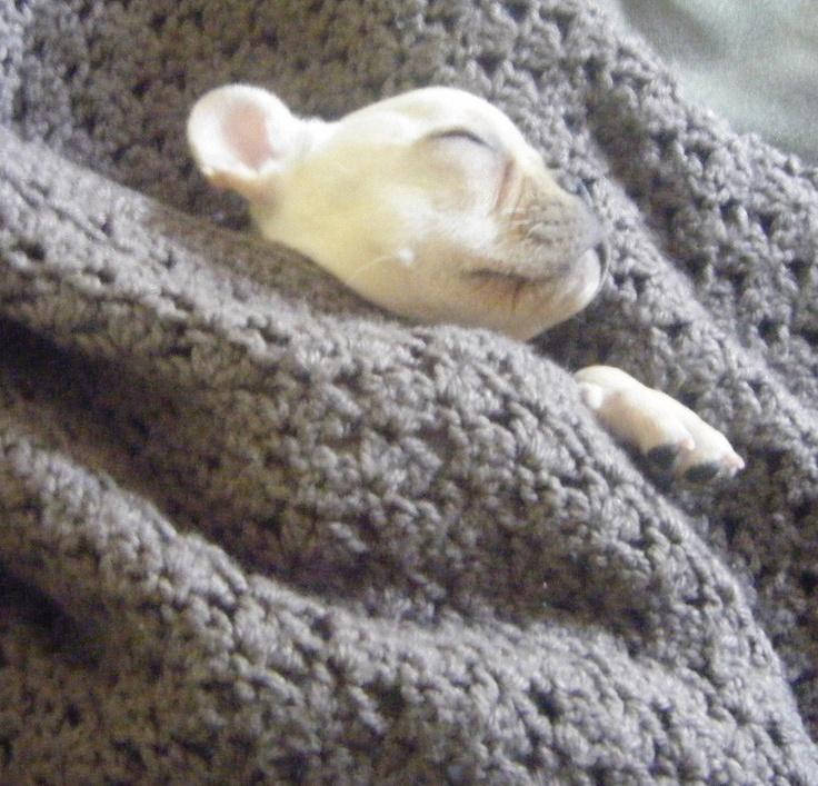 French Bulldog napping..zzzzzzz