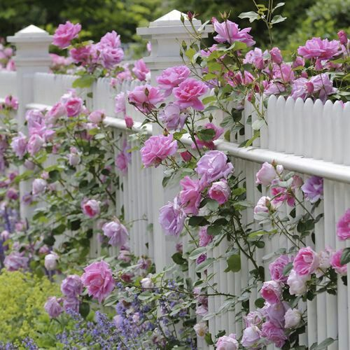 Pink Roses On A White Picket Fence.