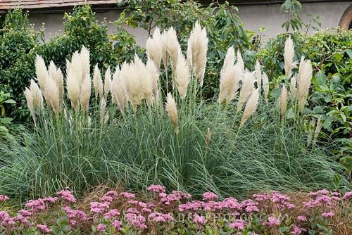 Pampas grass outdoors landscape pinterest for Landscaping ideas with pampas grass