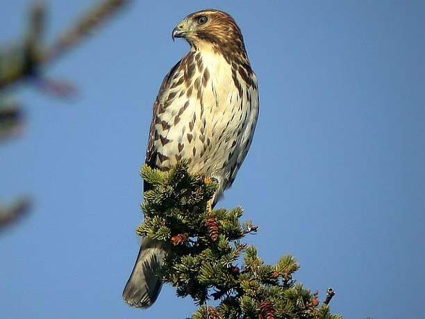 Broad Winged Hawk | Michigan Birds | Pinterest