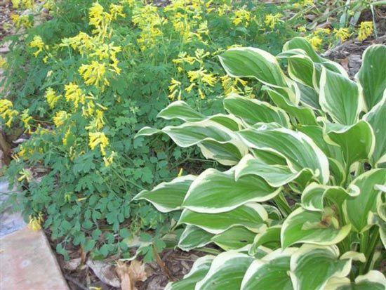good filler plant garden flowers pinterest