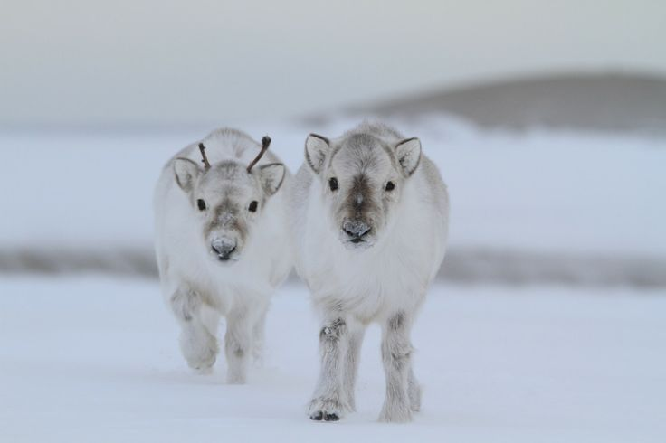 Baby reindeer look at their little nub antlers my sweet