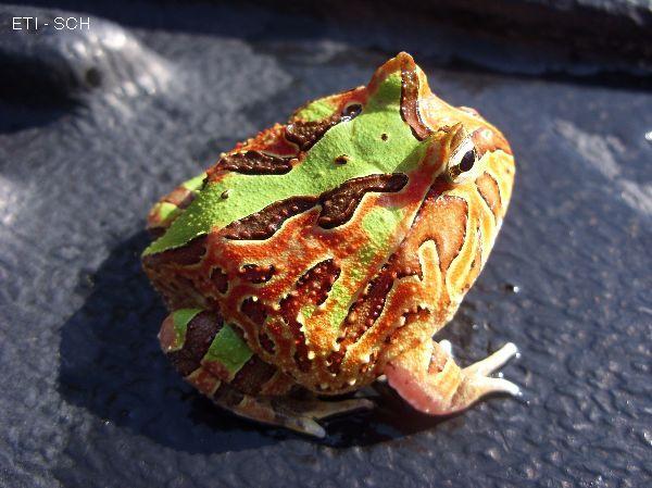 Fantasy pacman frog - photo#1