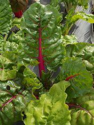 Rainbow Chard - New Morning Farm | Ate | Pinterest