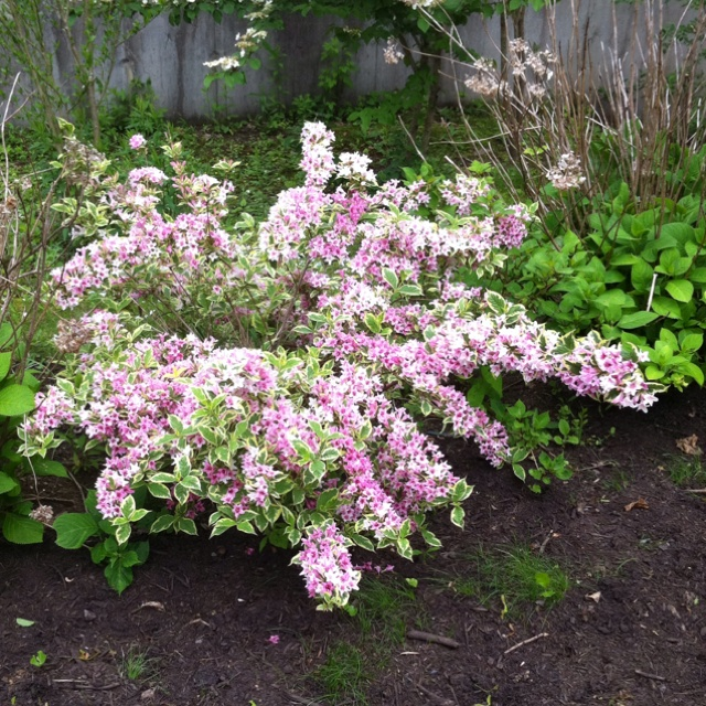 Variegated Weigela | My Yard Plants - 256.1KB