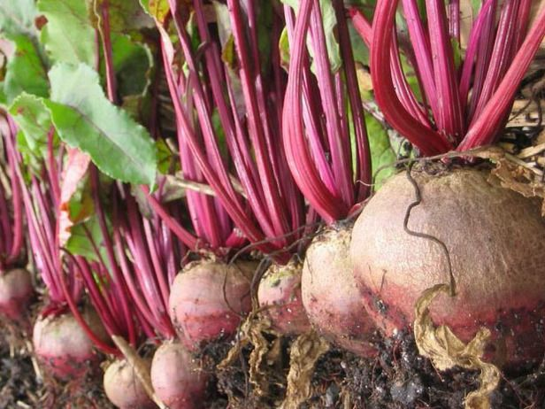 how to grow beets from seed outdoors