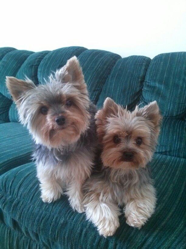 Girl Teacup Yorkie Names Female Teacup Yorkie Puppies For Sale In
