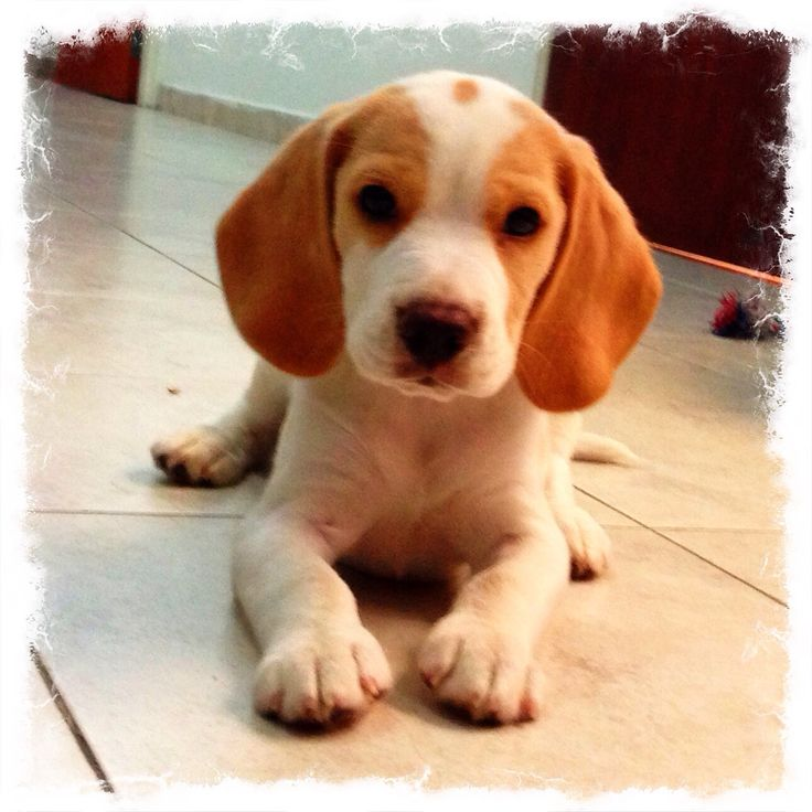 lemon pocket beagle - photo #5