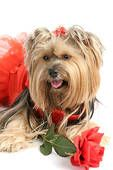 valentine yorkie pictures