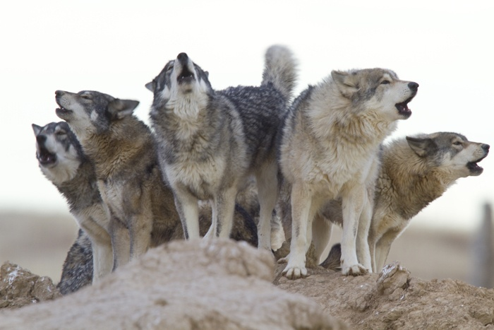 Gray wolf pack howling - photo#3