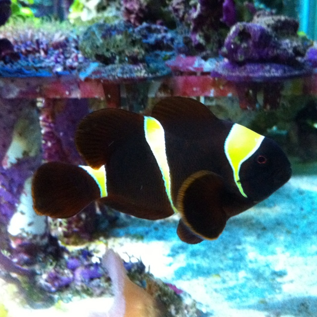 Ruby - Golden Stripe Maroon clownfish -Yellow Stripe Maroon Clownfish