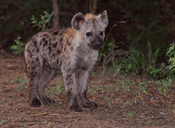 Newborn hyena