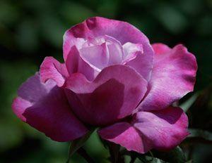 rosa by elaine cunningham essays