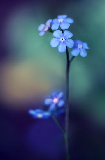 Forget Me Not.  One of my favorite flowers.