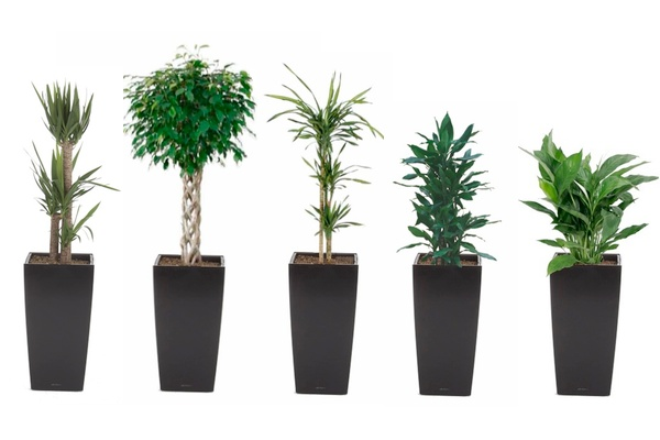 tall plants for the office garden containers pinterest
