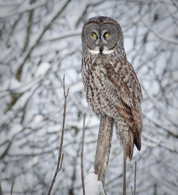 }{ Great grey owl | Owls | Pinterest