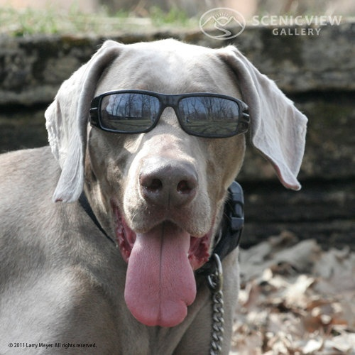Weimaraner Cute Funny Dog Hot Photo Lmeyer See More