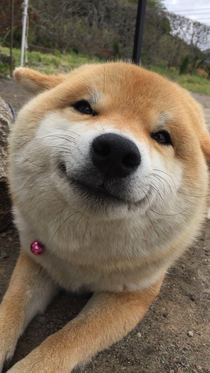 柴犬の画像 p1_30