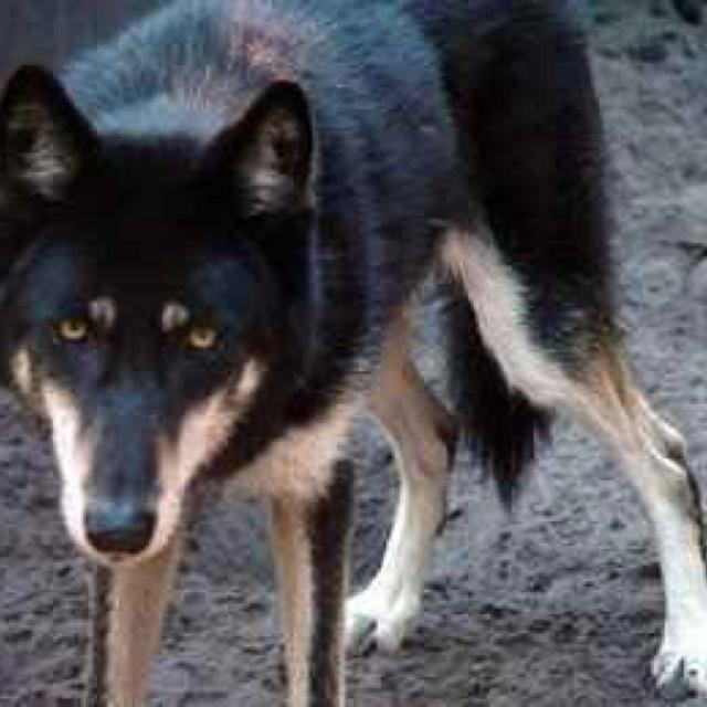Wolf mixed with german shepherd german shepherd wolf hybrid via