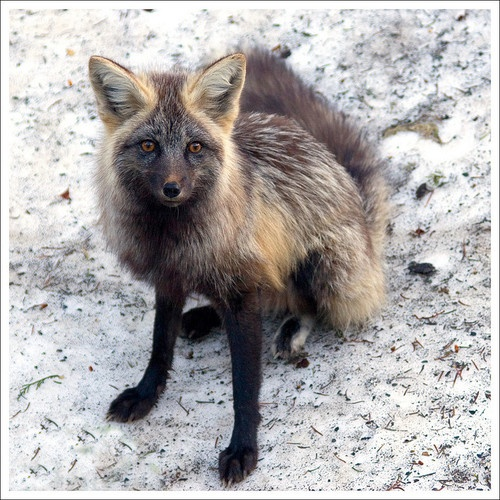 ☀Cross Fox | Animals | Pinterest