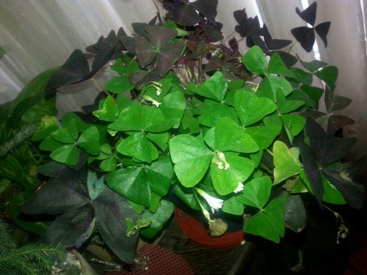 Shamrock plants garden ideas pinterest - Shamrock houseplant ...