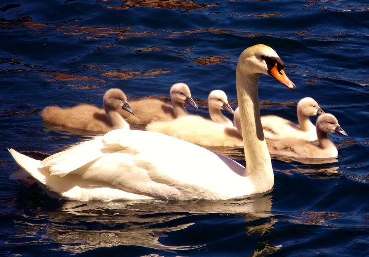Seven Swans A Swimming | 12Days | Pinterest