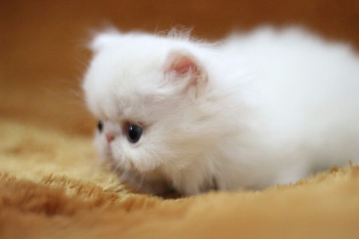 New Babies | Persian & Exotic Cat | Pinterest